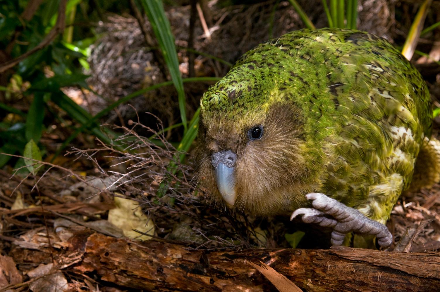 Kakapo Wallpaper Kakapo - the world s favourite